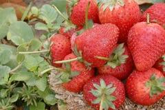 Φράουλα, εστίαση στην ομάδα φραουλών στο καλάθι σε φυσικό στοκ εικόνες