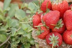 Φράουλα, εστίαση στην ομάδα φραουλών στο καλάθι σε φυσικό στοκ φωτογραφία