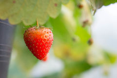 φράουλα κήπων Στοκ Φωτογραφία