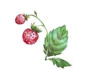 Φράουλα με τα φύλλα και το μίσχο Στοκ Εικόνες