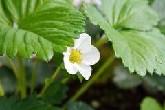 Φράουλα με το λουλούδι Στοκ Φωτογραφίες