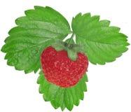 Φράουλα μούρων με τα φύλλα σε ένα άσπρο υπόβαθρο Στοκ εικόνα με δικαίωμα ελεύθερης χρήσης