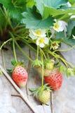 Φράουλα ομάδας στον κήπο Στοκ Εικόνες