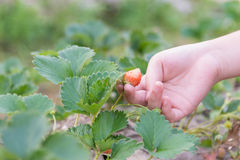 Φράουλα παιδιών Στοκ φωτογραφία με δικαίωμα ελεύθερης χρήσης