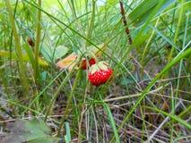 Φράουλα σε έναν κλάδο στη χλόη Στοκ εικόνα με δικαίωμα ελεύθερης χρήσης