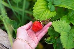 Φράουλα σε έναν φοίνικα Στοκ εικόνα με δικαίωμα ελεύθερης χρήσης