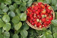Φράουλα σε ένα ξύλινο καλάθι στον κήπο στο πράσινο υπόβαθρο φύλλων Στοκ Εικόνες