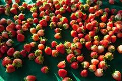 Φράουλα σε Doi Angkhang, Chiangmai Ταϊλάνδη Στοκ Εικόνες