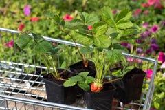 Φράουλα σποροφύτων Στοκ Εικόνα