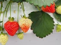 Φράουλα στην Ιαπωνία Στοκ εικόνες με δικαίωμα ελεύθερης χρήσης