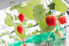 Φράουλα στον κλάδο στη φύτευση φραουλών Στοκ φωτογραφία με δικαίωμα ελεύθερης χρήσης
