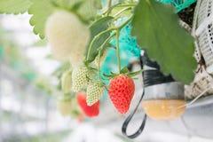 Φράουλα στον κλάδο στη φύτευση φραουλών Στοκ Εικόνες