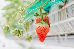 Φράουλα στον κλάδο στη φύτευση φραουλών Στοκ εικόνα με δικαίωμα ελεύθερης χρήσης