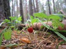 Φράουλα στο δάσος Στοκ Φωτογραφία