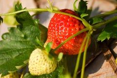 Φράουλα στο αγρόκτημα στο ANG Khang, Ταϊλάνδη Doi Στοκ Εικόνες