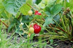 Φράουλα στο θάμνο Στοκ φωτογραφίες με δικαίωμα ελεύθερης χρήσης