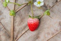 Φράουλα στο παλαιό υπόβαθρο φύλλων Στοκ φωτογραφία με δικαίωμα ελεύθερης χρήσης