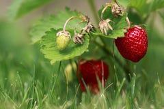 φράουλα φραουλών ουρανού θάμνων Στοκ Φωτογραφίες
