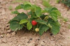 φράουλα 2 Στοκ φωτογραφία με δικαίωμα ελεύθερης χρήσης