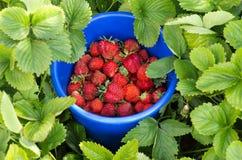 Φράουλες επιλογής Στοκ Εικόνες