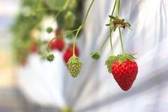 Φράουλες κόκκινες και πράσινες Στοκ Φωτογραφία
