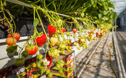 Φράουλες που αυξάνονται σε ένα σύγχρονο θερμοκήπιο Στοκ Φωτογραφία