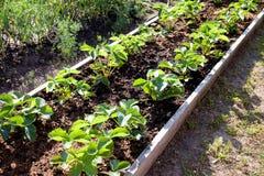Φράουλες στον κήπο στοκ φωτογραφία με δικαίωμα ελεύθερης χρήσης