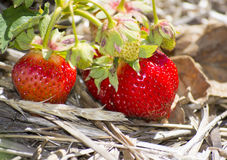 Φράουλες στο έδαφος Στοκ Εικόνες