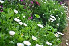 φρέσκα άσπρα λουλούδια μαργαριτών Στοκ Φωτογραφία