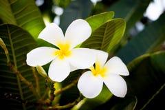 Φρέσκα άσπρα λουλούδια plumeria Στοκ εικόνες με δικαίωμα ελεύθερης χρήσης