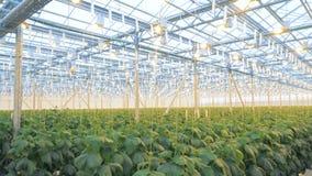 Φρέσκα αγγούρια σε ένα θερμοκήπιο Σύγχρονη έννοια γεωργίας απόθεμα βίντεο