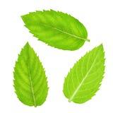 Φρέσκα ακατέργαστα φύλλα μεντών που απομονώνονται Στοκ Εικόνα