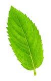 Φρέσκα ακατέργαστα φύλλα μεντών που απομονώνονται Στοκ Εικόνες