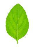 Φρέσκα ακατέργαστα φύλλα μεντών που απομονώνονται Στοκ φωτογραφία με δικαίωμα ελεύθερης χρήσης