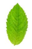 Φρέσκα ακατέργαστα φύλλα μεντών που απομονώνονται Στοκ Φωτογραφίες