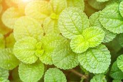 Φρέσκα ακατέργαστα φύλλα μεντών στο φυτικό κήπο Στοκ Εικόνα