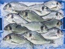 Φρέσκα ακατέργαστα χοιρομητέρα-επικεφαλής bream ψάρια dorada aurata Sparus στο τοπικό μ στοκ εικόνες