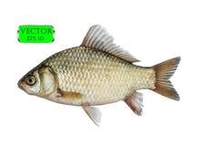 Φρέσκα ακατέργαστα ψάρια που απομονώνονται στο άσπρο υπόβαθρο με το ψαλίδισμα της πορείας ελεύθερη απεικόνιση δικαιώματος