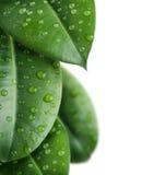 φρέσκα απομονωμένα φύλλα Στοκ φωτογραφία με δικαίωμα ελεύθερης χρήσης