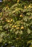 Φρέσκα κάστανα που κρεμούν στα δέντρα Στοκ Εικόνες