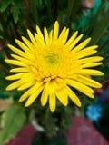 Φρέσκα κίτρινα λουλούδια Στοκ Εικόνες
