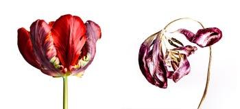 Φρέσκα και μαραμένα λουλούδια που γερνούν την τουλίπα έννοιας Στοκ Εικόνα
