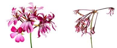 Φρέσκα και μαραμένα λουλούδια που γερνούν το γεράνι έννοιας Στοκ εικόνα με δικαίωμα ελεύθερης χρήσης