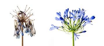 Φρέσκα και μαραμένα λουλούδια που γερνούν το κρεμμύδι έννοιας Στοκ Εικόνα