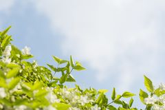 φρέσκα και όμορφα άγρια λουλούδια δαμάσκηνων νερού με Στοκ Εικόνες