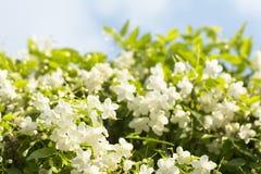 φρέσκα και όμορφα άγρια λουλούδια δαμάσκηνων νερού με Στοκ φωτογραφίες με δικαίωμα ελεύθερης χρήσης
