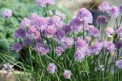 Φρέσκα κρεμμύδια, Allium πορφυρά λουλούδια schoenoprasum Στοκ Εικόνες
