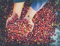 Φρέσκα κόκκινα ακατέργαστα arabica φασολιών καφέ μούρων χέρια γεωπόνων Οργανική έννοια αγροτών συγκομιδής γεωργίας φασολιών καφέ  στοκ εικόνα