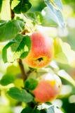 Φρέσκα κόκκινα μήλα στον κλάδο δέντρων της Apple Στοκ Εικόνες