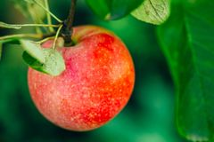 Φρέσκα κόκκινα μήλα στον κλάδο δέντρων της Apple Στοκ εικόνα με δικαίωμα ελεύθερης χρήσης